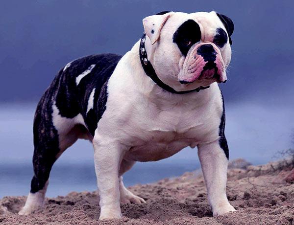 Image of American Bulldog.