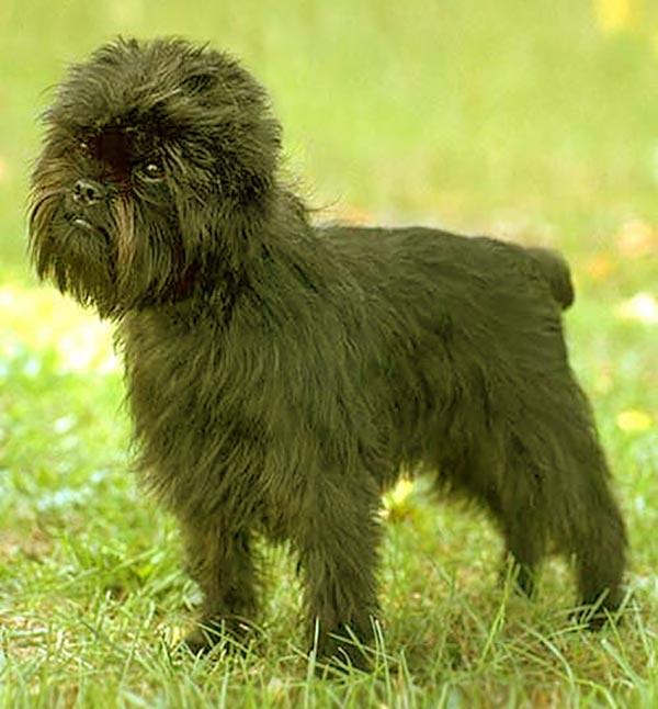 Image of Small Black Fluffy Dog, Affenpinscher