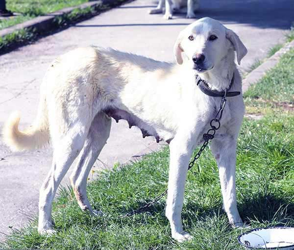 Image of Big White Fluffy Dog Breeds Akbash dog
