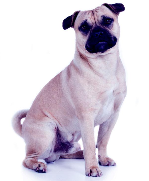 Image of American Pugabull