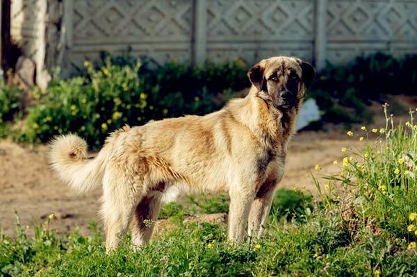 Image of Anatolian Shepherd