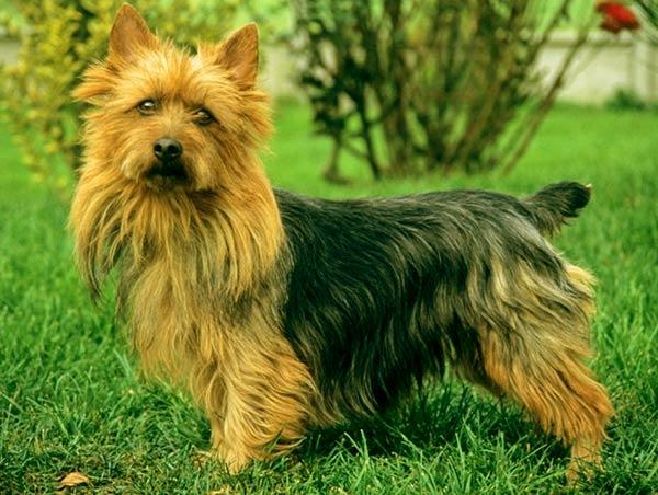 Image of Australian Terrier