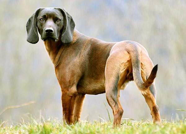 Image of Bavarian Mountain Scent Hound