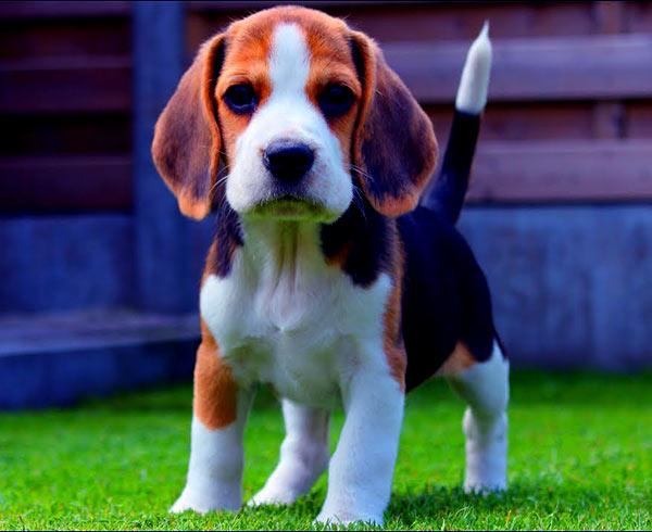Image of Beagle