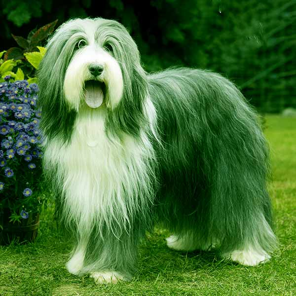 Image of Bearded Collie