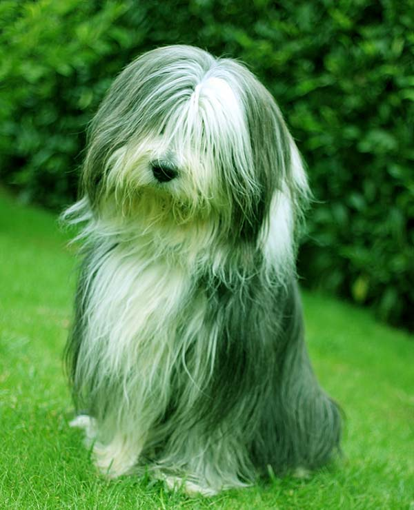 Image of Big Black Fluffy Dog Breeds Bearded Collie