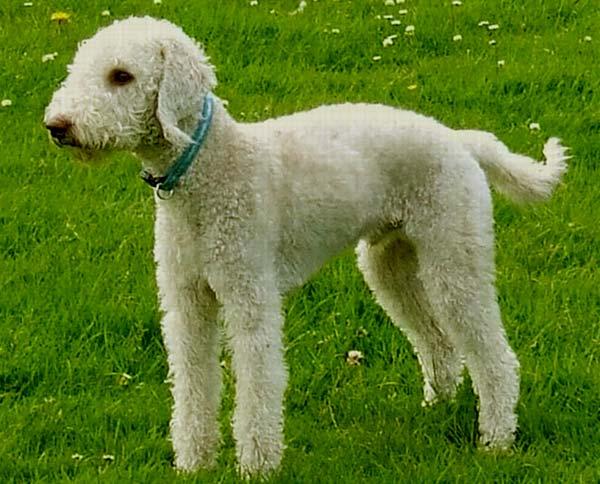 Image of Bedlington Terrier