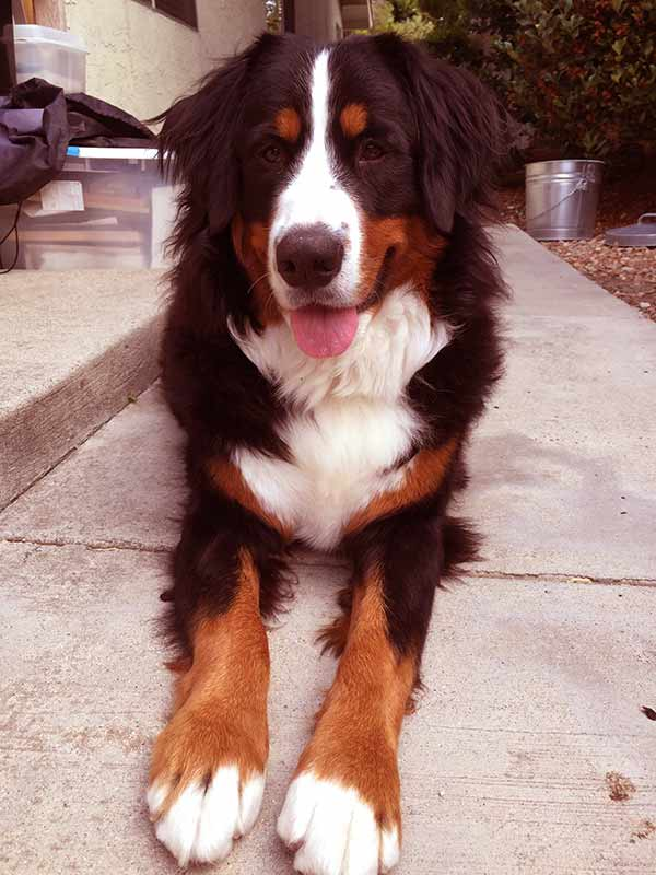 Image of Bernese Mountain Dog