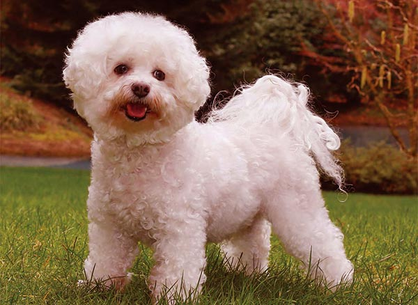 Image of Small White Fluffy Dog, Bichon Frise