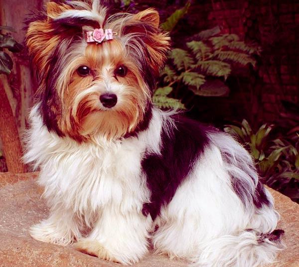 Image of Biewer Terrier
