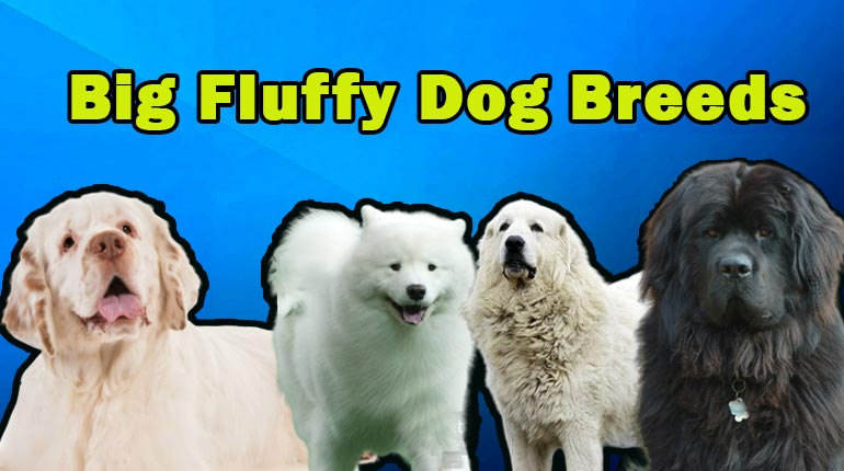 Image of Big Fluffy Dog Breeds. List of Both Big White and Big Black Fluffy Dog Breeds.