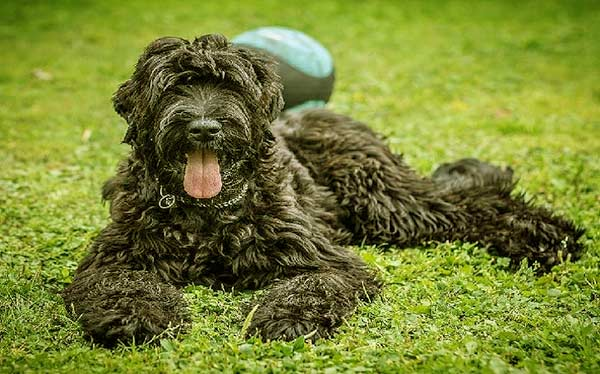 Image of Big Black Fluffy Dog Breeds Black Russian Terrier