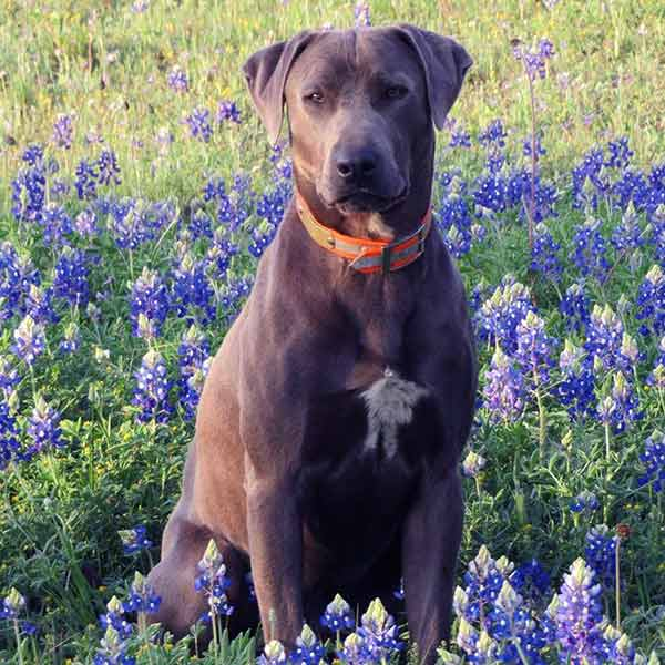 Image of Blue Lacy