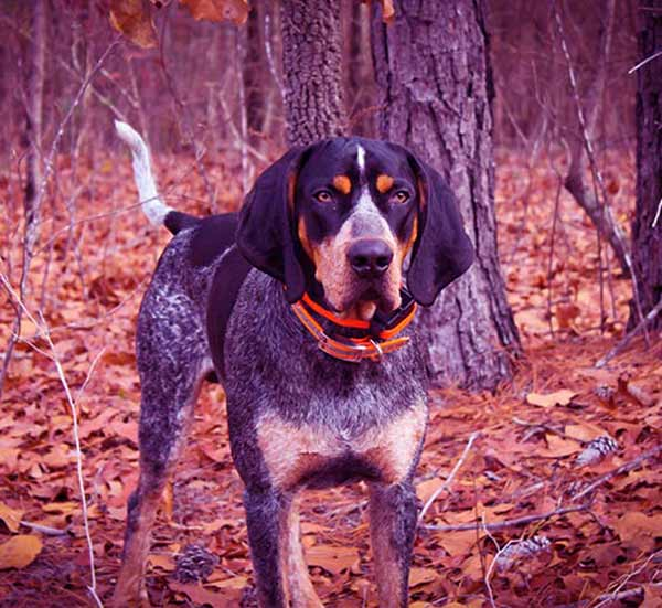 Image of Bluetick Coonhound
