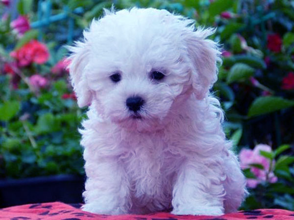 Image of Small White Fluffy Dog, Bolognese