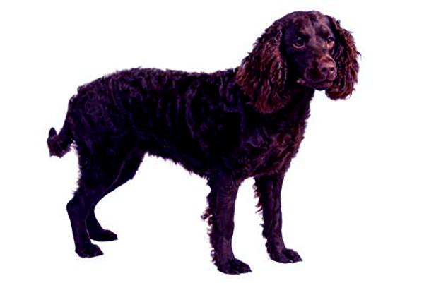 Image of Boykin Spaniel