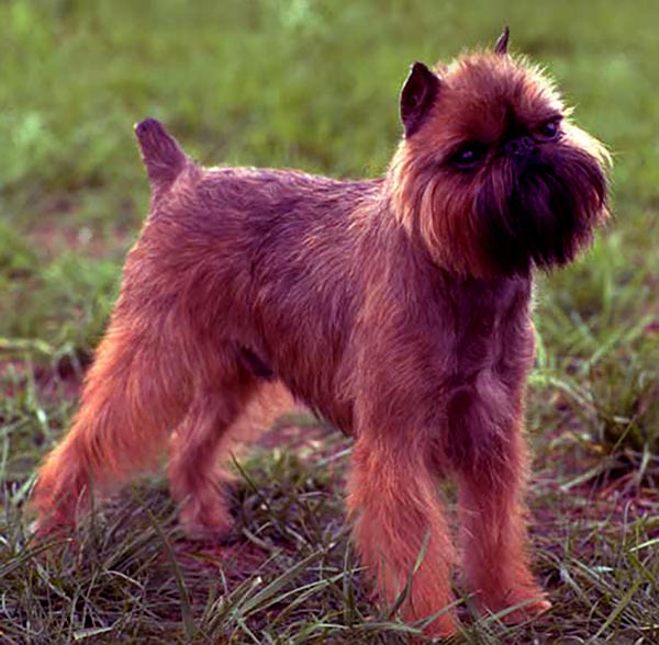 Image of Brussels Griffon
