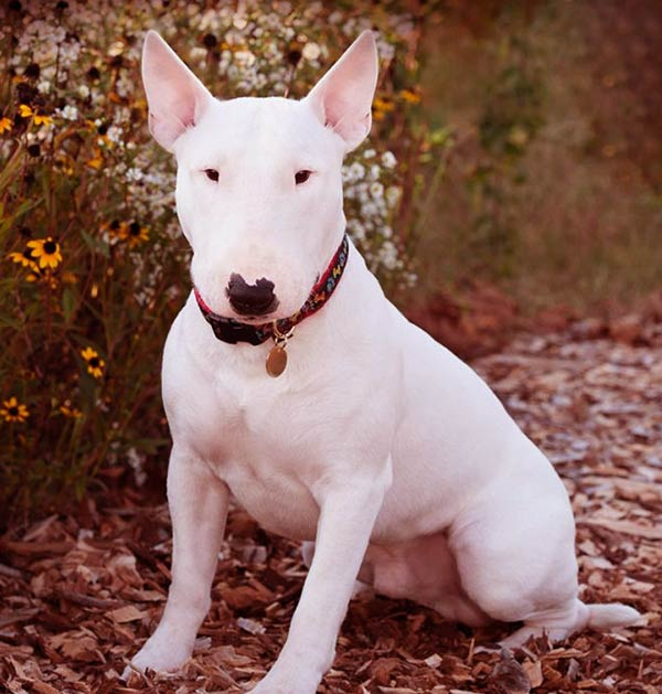 Image of Bull Terrier