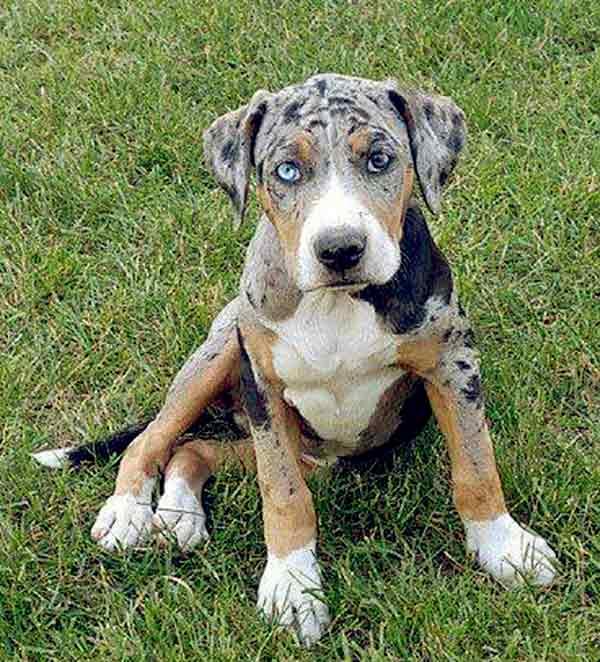 Image of Catahoula Bulldog