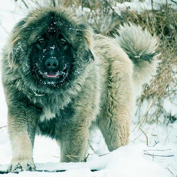 Image of Caucasian Shepherd Dog