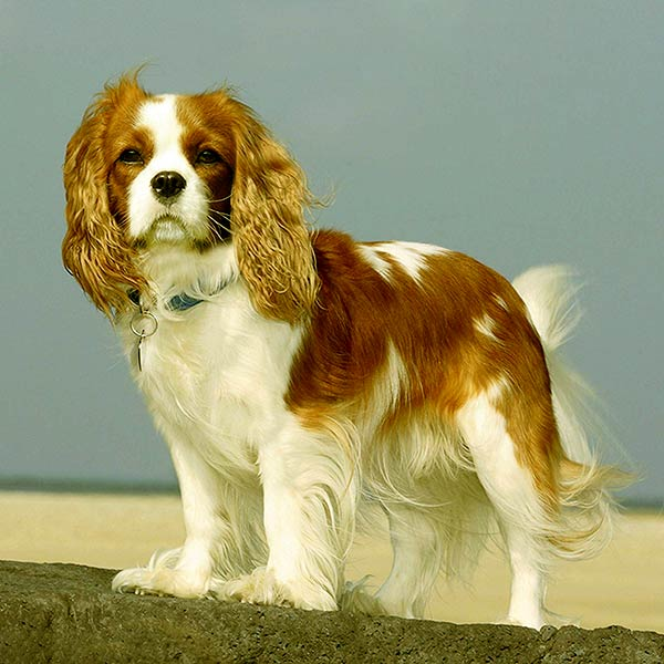 Image of Cavalier King Charles Spaniel