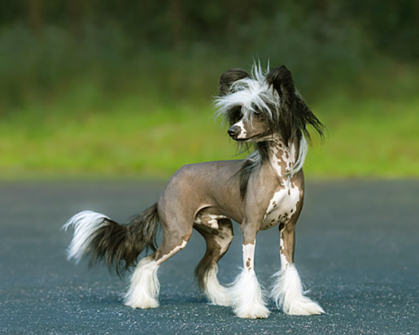 Image of Chinese Crested