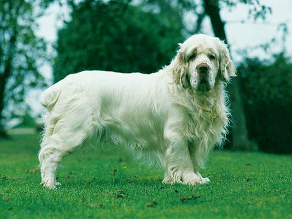 Image of Clumber Spaniel