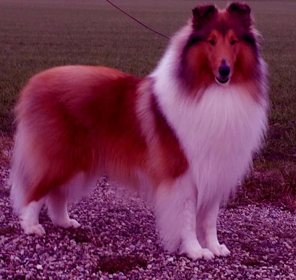 Image of Collie