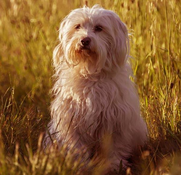 Image of Small White Fluffy Dog, Coton de Tulear