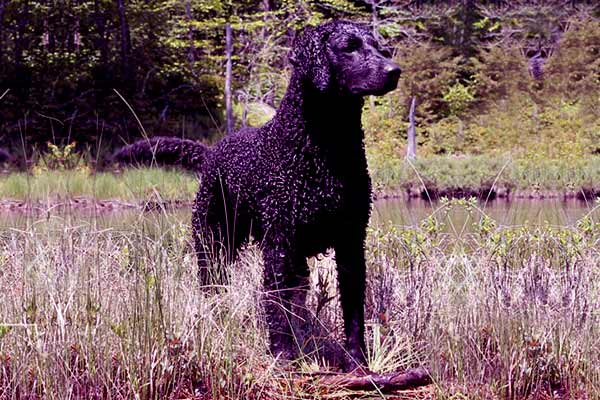 Image of Curly-coated Retriever