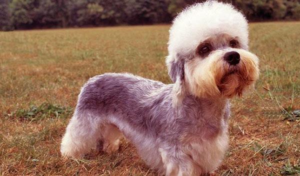 Image of Dandie Dinmont Terrier