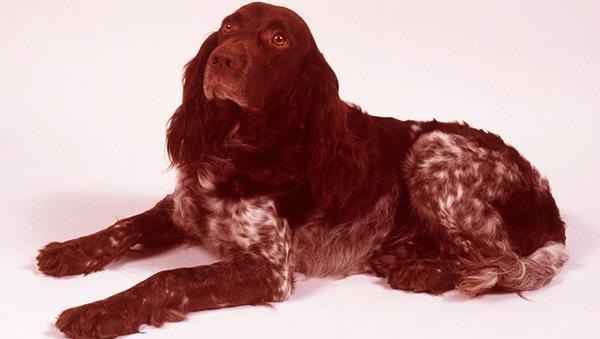 Image of Deutscher Wachtelhund