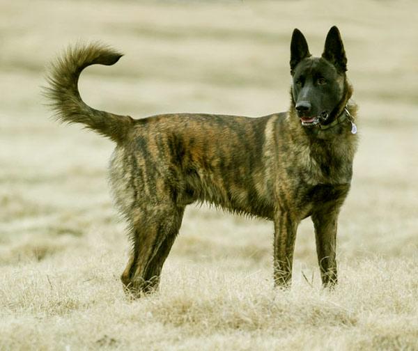 Image of Dutch Shepherd