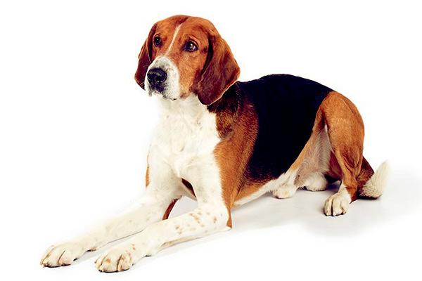 Image of English Foxhound