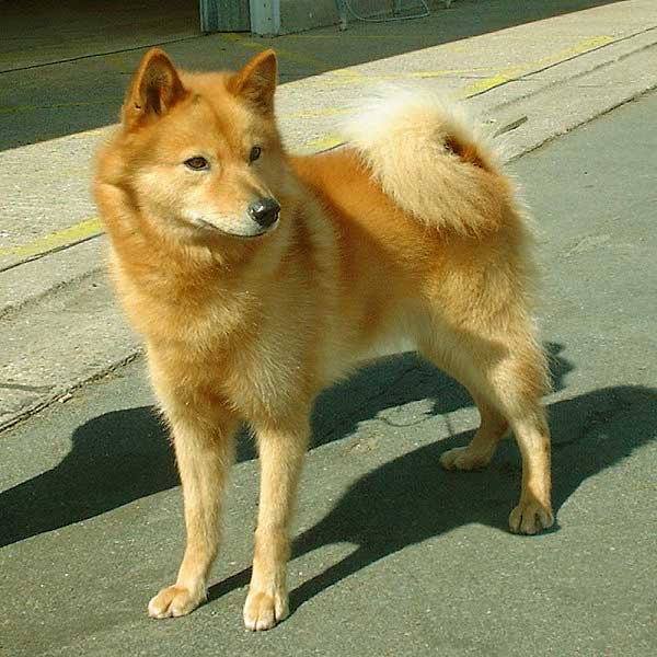 Image of Finnish Spitz