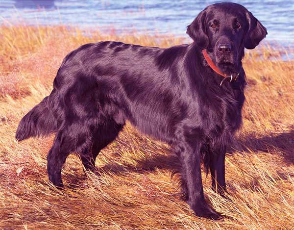 Image of Flat-Coated Retriever