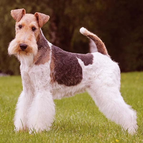 Image of Fox Terrier