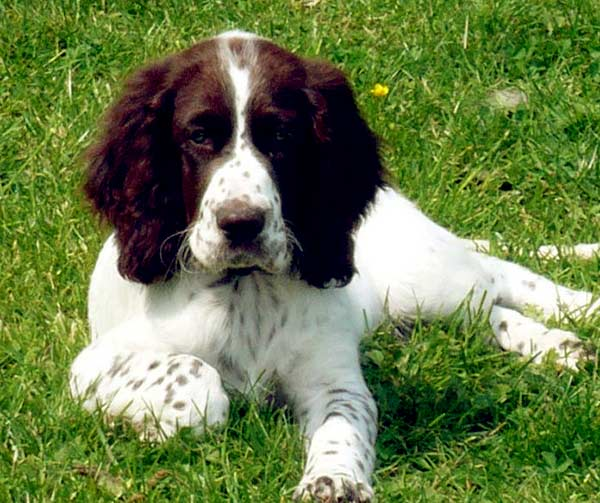 Image of French Spaniel