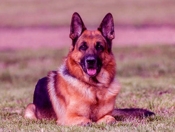 Image of German Shepherd Dog