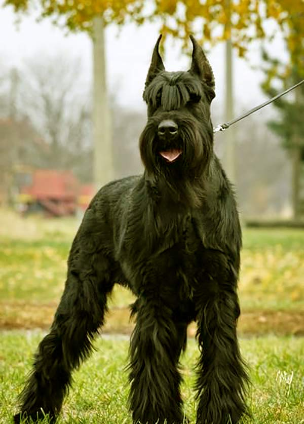 Image of Big Black Fluffy Dog Breeds Giant Schnauzer