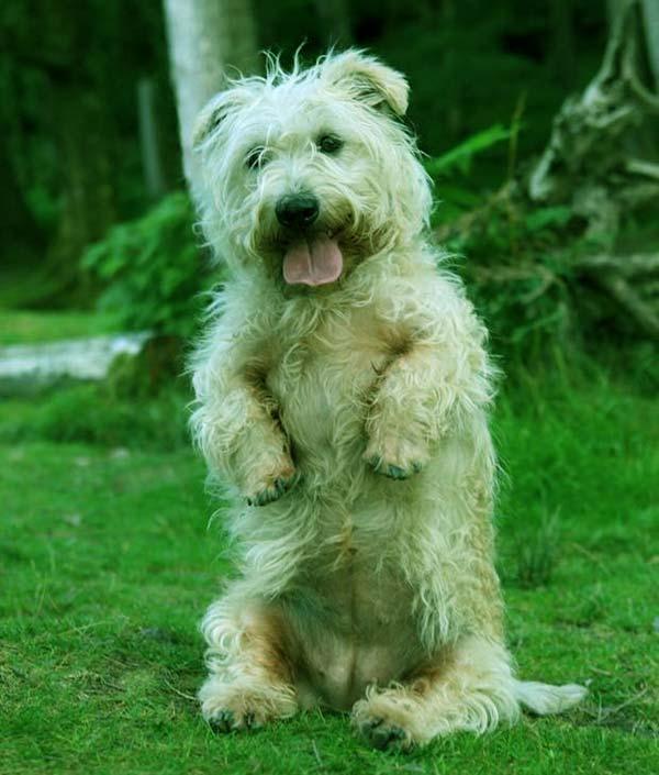 Image of Glen of Imaal Terrier