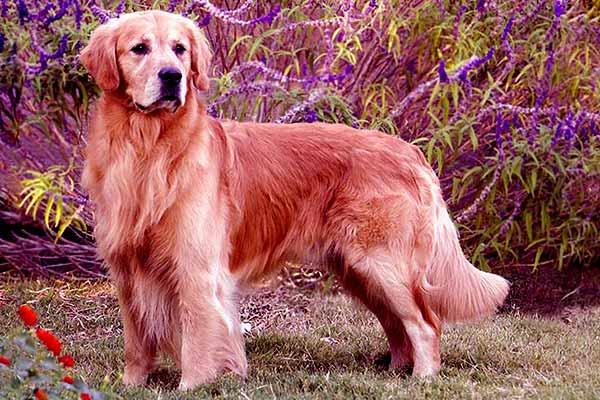 Image of Golden Retriever