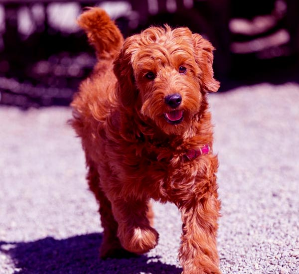 Image of Goldendoodle