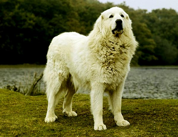 Image of Great Pyrenees.