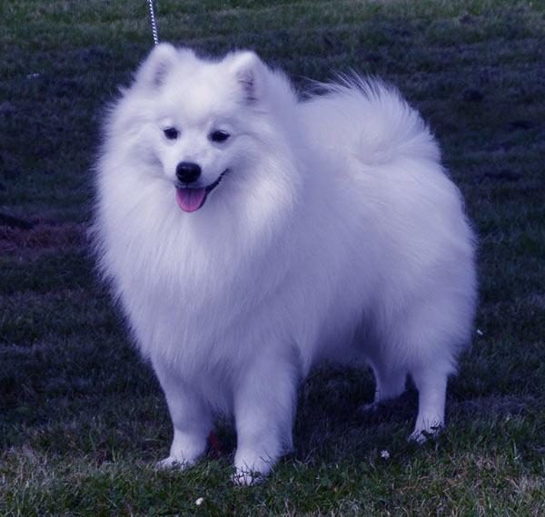 Image of Small White Fluffy Dog, Japanese spitz