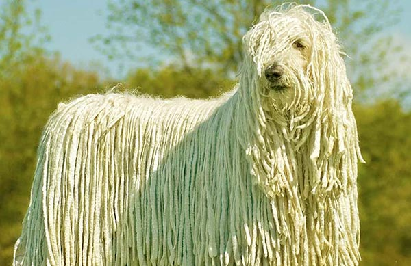 Image of Big White Fluffy Dog Breeds Komondor