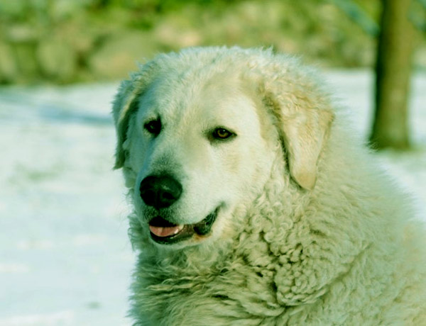 Image of Big White Fluffy Dog Breeds Kuvasz
