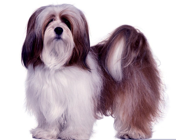 Image of Small Black Fluffy Dog, Lhasa apso