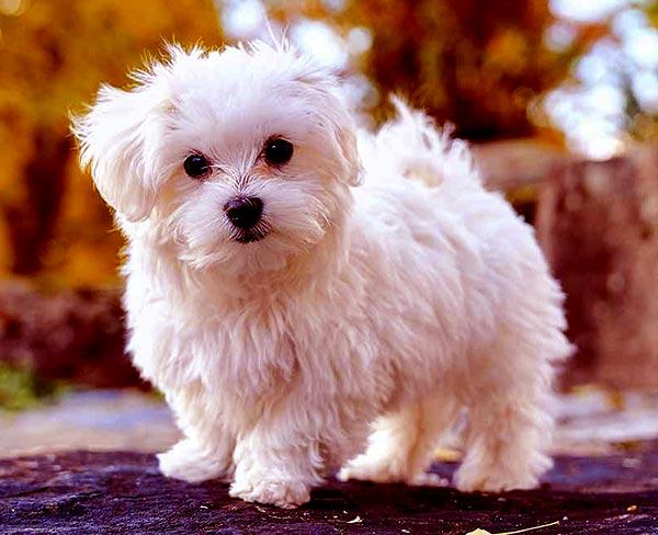 Image of Small White Fluffy Dog, Maltese