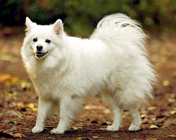 Image of Small White Fluffy Dog, Miniature American Eskimo dog
